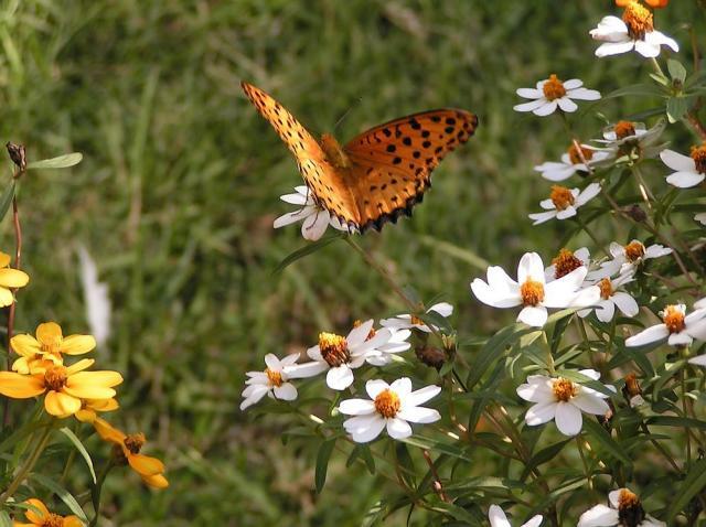 ジニアとツマグロヒョウモン蝶